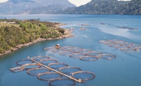 Pese a pérdidas por algas nocivas, salmoneras enfrentan excepcional jornada en bolsa